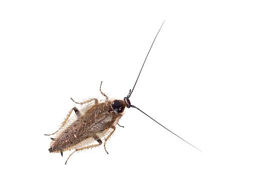 zwalczanie insektów - karaluch